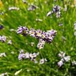 Cadeauwinkel; Lavendel versus La Touche Magique